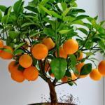 Как вырастить апельсиновое дерево из косточки?