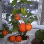 Как вырастить мандарин из косточки в домашних условиях - инструкция: