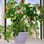6 овощей, которые вы можете вырастить на подоконнике.