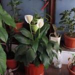 10 натуральных удобрений для домашних цветов.